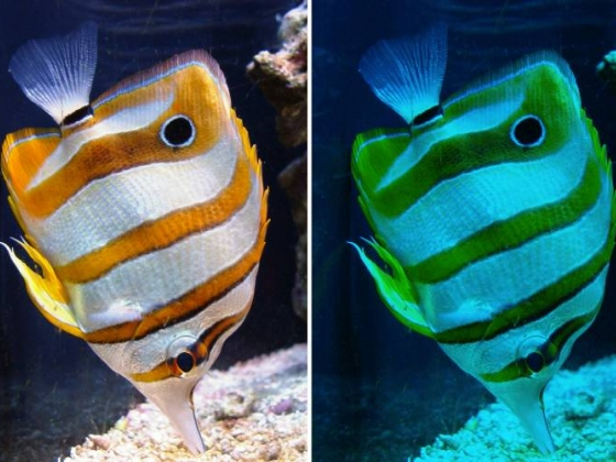 Two photos of the same fish with different colors