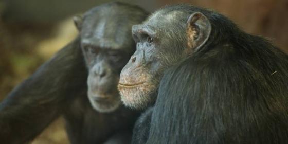 Two chimpanzees